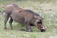 Wart Hog feeding at Pilanesberg National Park stock images