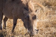Wart hog in Ngorongoro Royalty Free Stock Photography