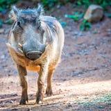 Wart hog portrait looking straight at camera Stock Photos