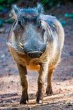 Wart hog portrait looking straight at camera Royalty Free Stock Photos
