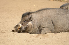 Wart Hog rooting in the ground Stock Photography