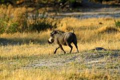 Wart Hog Running Photos libres de droits
