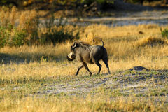 Wart Hog Running Royalty Free Stock Photos
