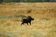 Wart Hog Safari Delight Photo libre de droits