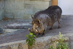 Wart hog in zoo Royalty Free Stock Photo