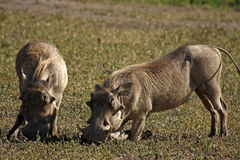 Wart Hogs. Pair of wart hogs, they usually kneel to feed Royalty Free Stock Photo