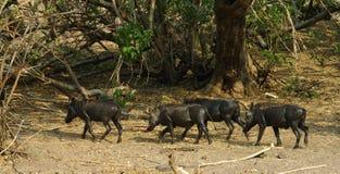 Wart-hogs. Herd of  Wart-hog Chobe River national park Botswana Stock Image