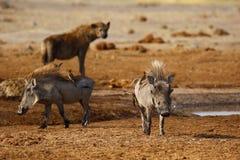 Wart hogs oxpeckers & hyena gathering royalty free stock image