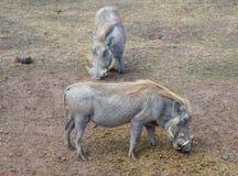 Wart Hogs. Two wart hogs in Serengeti National Park Royalty Free Stock Image