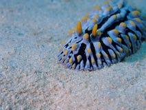 Wart Slug Red Sea varicoso Fotografia de Stock