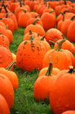 Warted Pumpkins. Pumpkins, mostly warted Knuckle Head or Goose Bump variety, on display in a field Royalty Free Stock Photo