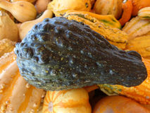 Warted squash base view, Cucurbita pepo Royalty Free Stock Photos