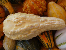 Warted squash, Cucurbita pepo Royalty Free Stock Photo