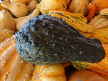 Warted squash, Cucurbita pepo Royalty Free Stock Images