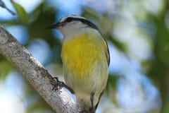 Wartenahrung des gelben Vogels Lizenzfreies Stockfoto