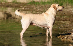 Warteordnung Labrador-Retriver lizenzfreie stockfotografie