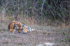 Warteunverdächtiges Opfer des Tigers Lizenzfreie Stockfotos