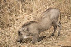 Warthhog Immagini Stock