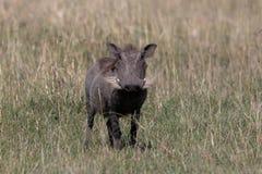 Warthog,肯尼亚,非洲 免版税库存照片