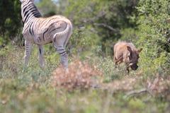Warthog和斑马在阳光下 免版税库存照片