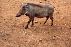 Warthog在内罗毕,肯尼亚 免版税库存图片