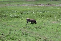 Warthog在坦桑尼亚 免版税库存照片