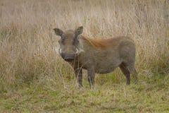 Warthog在塔拉私有比赛储备拍摄了在南非 图库摄影