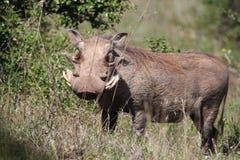 Warthog在阳光下 图库摄影