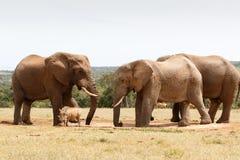 Warthog没有机会反对布什大象 图库摄影