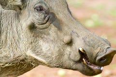 warthog的面孔特写镜头在Umfolozi比赛储备,南非的,在1897年建立 免版税库存图片