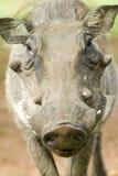warthog的面孔特写镜头在Umfolozi比赛储备,南非的,在1897年建立 免版税库存照片