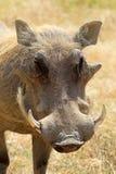 warthog的画象 免版税库存图片