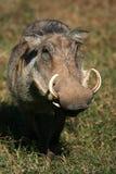 Warthog纵向与大象牙的 库存图片