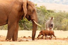 Warthog赛跑通行证斑马和布什大象 库存照片
