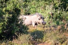 Warthog мужское в кусте стоковое изображение rf