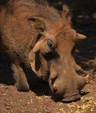 Warthog από τη Νότια Αφρική Στοκ Εικόνες
