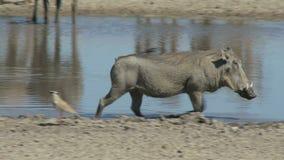 Warthog και πουλί
