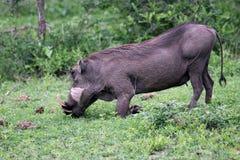Warthog (κοινό Warthog) που ταΐζει Του δέλτα okavango Στοκ Εικόνα