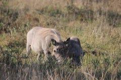 Warthog με νέο cub Στοκ Εικόνες