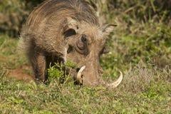 Warthog με τους μεγάλους χαυλιόδοντες Στοκ εικόνα με δικαίωμα ελεύθερης χρήσης