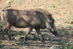 Warthog σε κίνηση Στοκ φωτογραφία με δικαίωμα ελεύθερης χρήσης