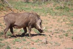 Warthog σε κίνηση Στοκ εικόνες με δικαίωμα ελεύθερης χρήσης
