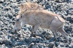 Warthog στα mus Στοκ φωτογραφία με δικαίωμα ελεύθερης χρήσης