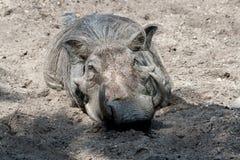 Warthog στην άμμο Στοκ φωτογραφία με δικαίωμα ελεύθερης χρήσης