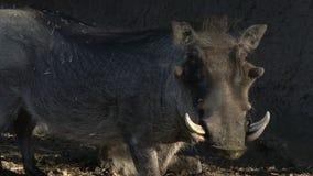 Warthog στην αγριότητα απόθεμα βίντεο