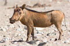 Warthog στον ήλιο Στοκ εικόνα με δικαίωμα ελεύθερης χρήσης