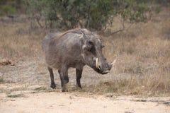 Warthog στο εθνικό πάρκο Kruger Στοκ φωτογραφία με δικαίωμα ελεύθερης χρήσης