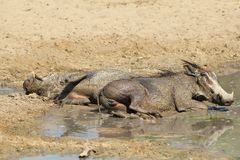 Warthog - φυσικός έλεγχος παρασίτων Στοκ Εικόνα