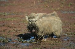 Warthog в грязи Стоковая Фотография RF