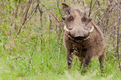 Warthog в кустарниках Стоковая Фотография